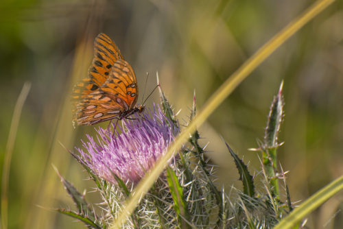 Gulf Fritillary on a Purple Thistle - Merritt Island National Wildlife Refuge