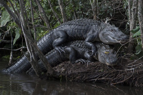 Alligators - Gatorland