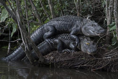 Alligators - Gatorland
