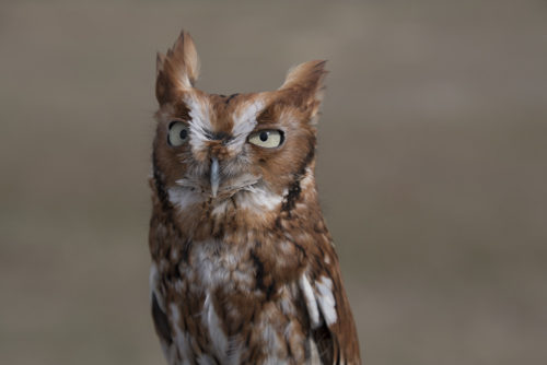 Red Screech Owl - ARC