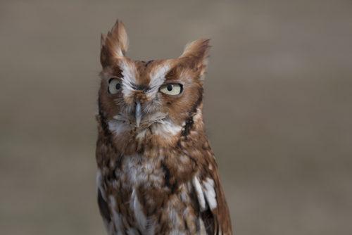 Red Screech Owl - ARC