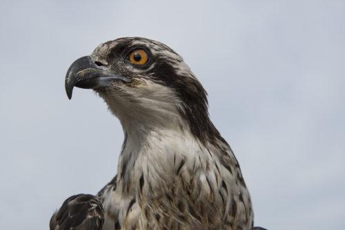 Osprey - ARC