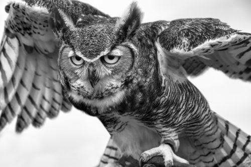 Great Horned Owl - ARC