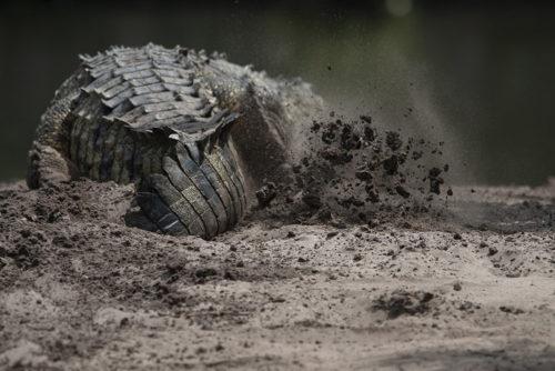 American Crocodile Nesting - Gatorland