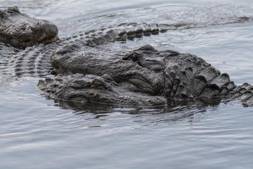 Alligator Courtship
