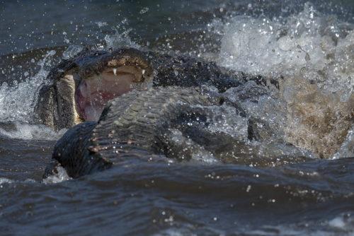 Alligator Battle