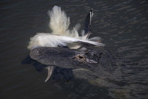 Alligator Catch