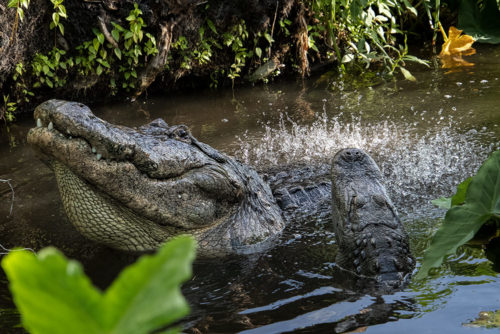 Alligator Bellowing