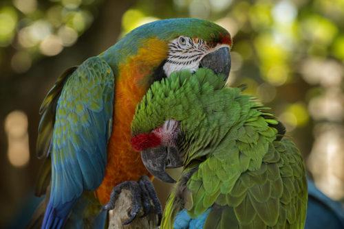 Macaws - Gatorland