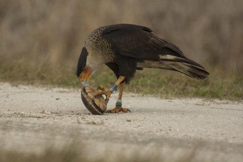 Caracara - Viera Wetlands