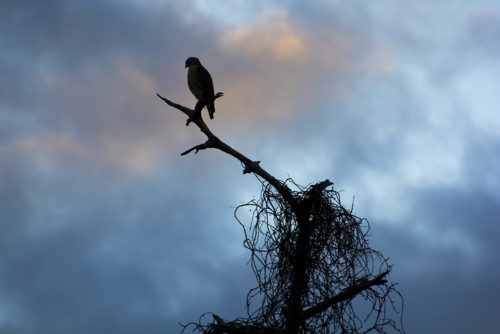 Red Shouldered Hawk Sunset - Shingle Creek