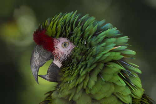 Military Macaw - Sarasota Jungle Gardens