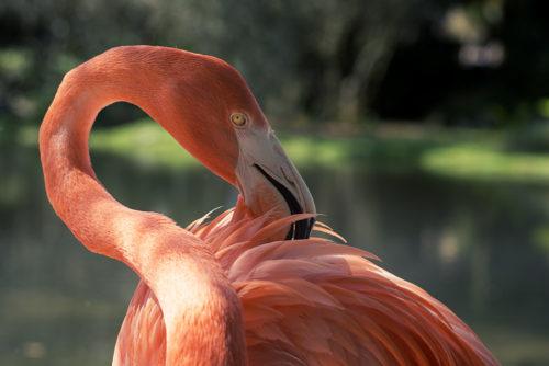 Flamingos - Sarasota Jungle Gardens
