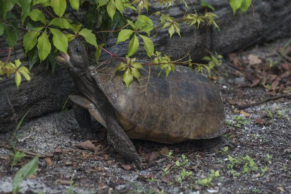 Gopher Tortoise - Egmont Key State Park