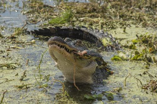 Alligator - Lake Toho