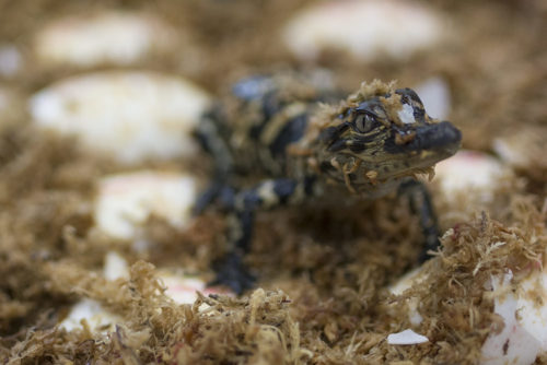 Alligator Hatchling - Gatorland 2016