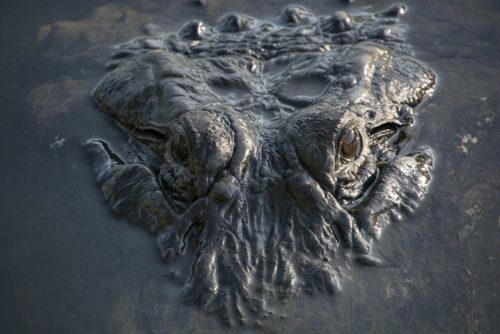 Alligator - Gatorland