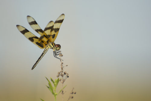 Halloween Pennant Dragonfly - Twin Oaks