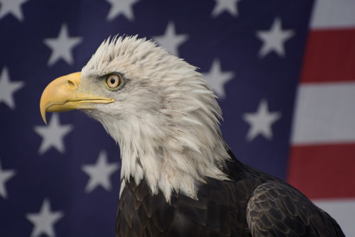 Bald Eagle - ARC