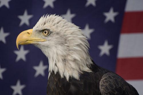 Bald Eagle - ARC