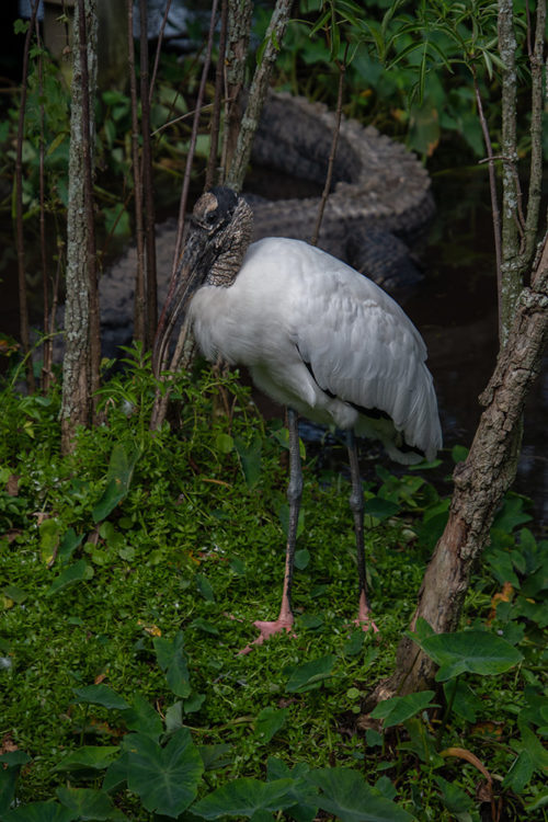 Woodstork with Alligator - 2018