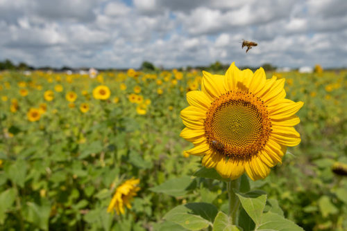 Sunflower Farm 2019