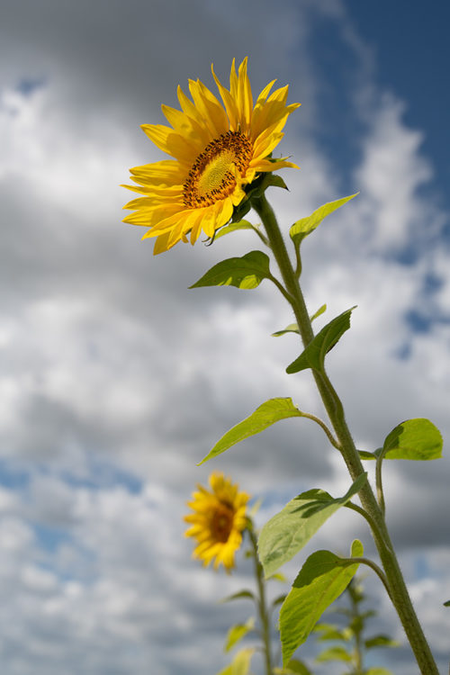 Sunflower Farm 2019
