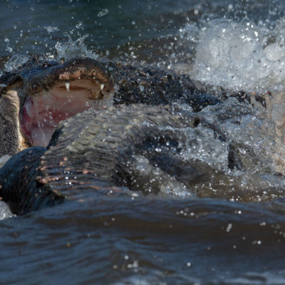 American Alligator Fight – Nikon D500 & Tamron 150-600