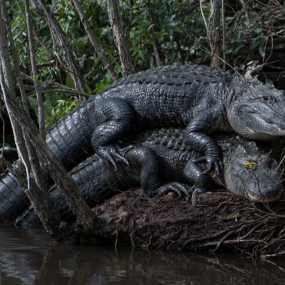 American Alligators – Nikon D500 & Tamron 18-400