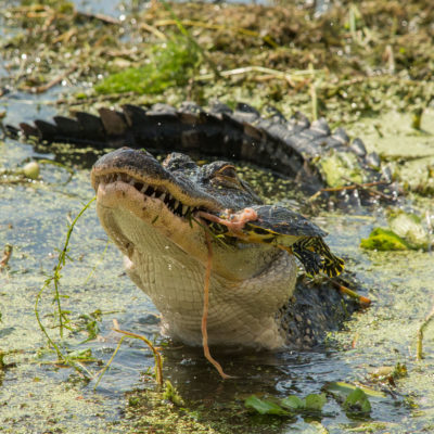 American Alligator eating turtle – Nikon D7100