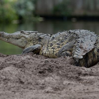 American Crocodile – Nikon D500 & Tamron 150-600