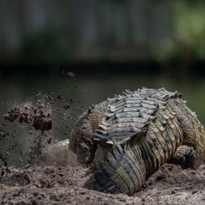 American Crocodile Nesting – Nikon D500 & Tamron 150-600