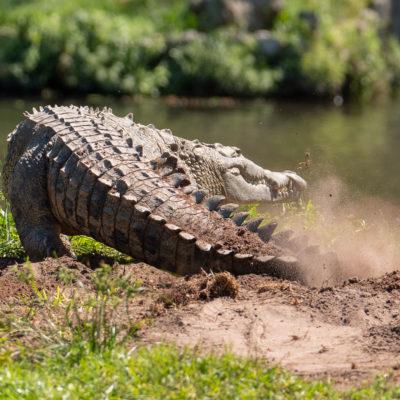 American Crocodile Nesting - Tamron 150-600 mm