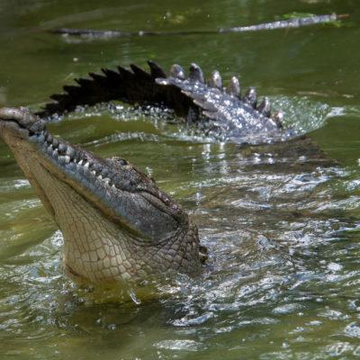 American Crocodile – Nikon D7100 & Tamron 18-400