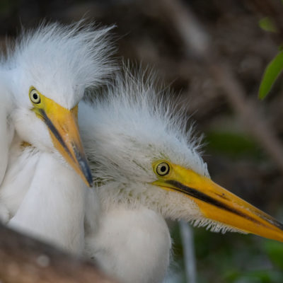 Great Egret Chicks – Nikon D500 & Tamron 150-600