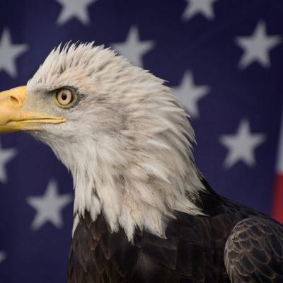 Bald Eagle – Nikon D7100