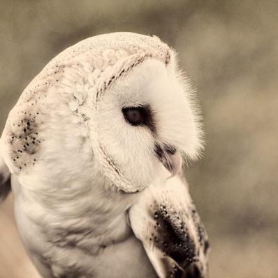 Barn Owl – Nikon D7100