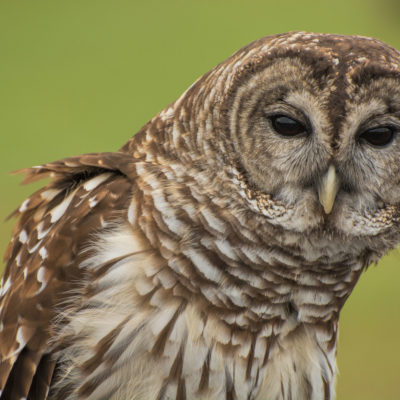 Barred Owl – Nikon D7100