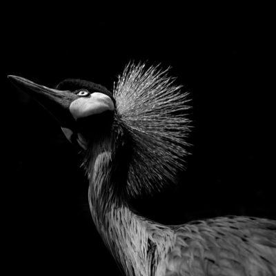 African Crowned Crane – Nikon D7100