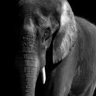 African Elephant – Nikon D7100