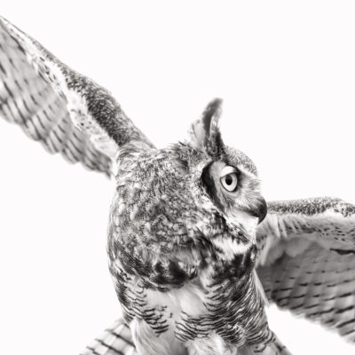 Great Horned Owl – Nikon D7100