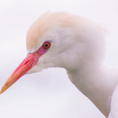 Cattle Egret – Nikon D7100