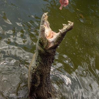 Saltwater Crocodile – Nikon D7100 & Tamron 18-400