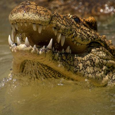 Cuban Crocodile – Nikon D7100 & Tamron 18-400