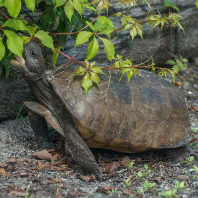 Gopher Tortoise – Nikon D7100