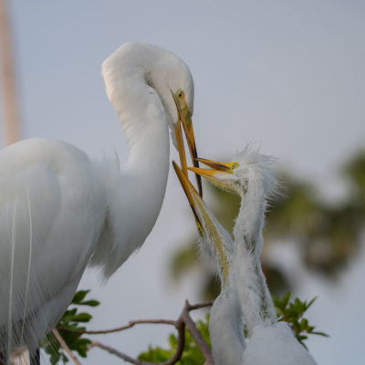 Great Egret Feeding – Nikon D500 & Tamron 150-600