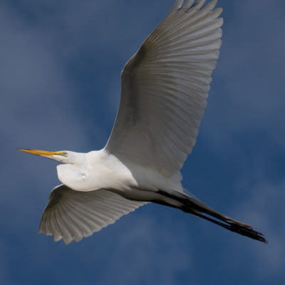 Great Egret in Flight – Nikon D500 & Tamron 18-400