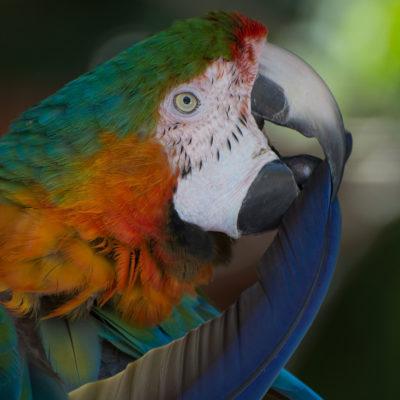 Harlequin Macaw – Nikon D7100