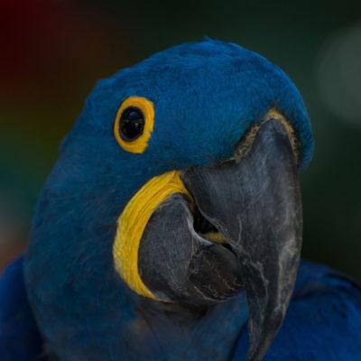 Hyacinth Macaw – Nikon D7100