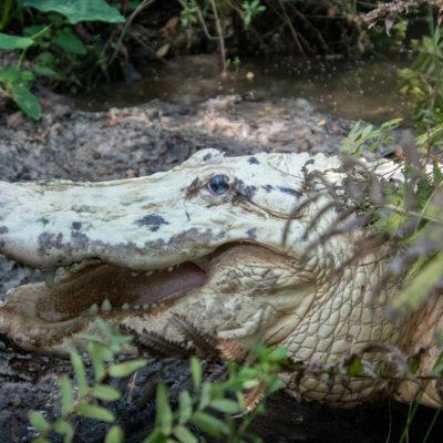 Leucistic Alligator – Nikon D500 & Tamron 18-400